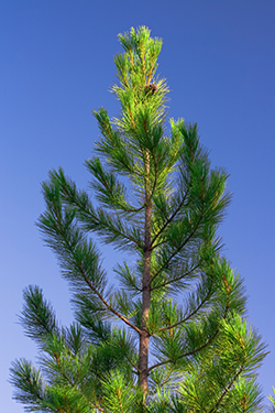 Single pine tree and the blue sky.