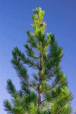 Single pine tree and the blue sky.